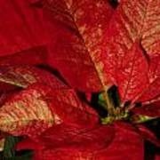Variegated Poinsettia II Poster