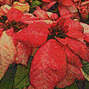 Variegated Poinsettia Poster