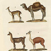 Various Camels Poster