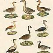 Various Kinds Of Geese Poster