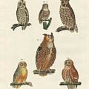 Various Kinds Of Owls Poster