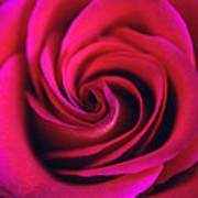 Velvet Rose Poster