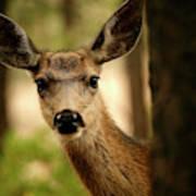 Venado Bura- Small Deer-bryce Canyon Poster