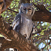Verreauxs Eagle Owl In Tree Poster