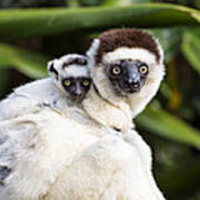 Verreauxs Sifaka With Baby Madagascar Poster
