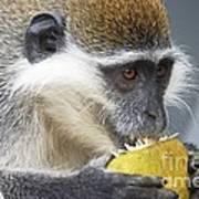 Vervet Monkey Eating An Orange Poster