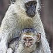 Vervet Monkeys Poster