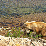 Very Light-colored Grizzly Bear In Moraine River In Katmai Nnp-ak Poster