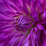 Very Pink Dahlia Poster