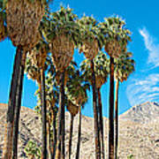 Very Tall Fan Palms In Andreas Canyon In Indian Canyons-ca Poster