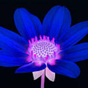 Vibrant Blue Single Dahlia With Pink Centre On Black. Poster