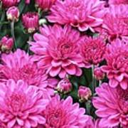 Vibrant Pink Mums Poster