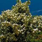 Viburnum Opulus Compactum Bush With White Flowers Poster