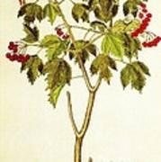 Viburnum Opulus Poster