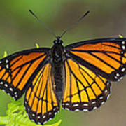 Viceroy On Fern Frond Poster
