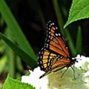 Viceroy On Hydrangea Poster