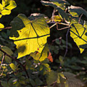 Vine Leaves At Sunset Poster