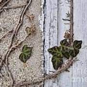Vine On Wall Poster