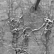 Vines After Snow In Black And White Poster