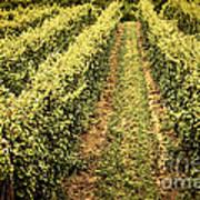 Vines Growing In Vineyard Poster