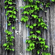 Vines On The Side Of A Barn Poster