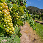 Vineyard Grapes Poster