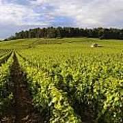 Vineyard Near Monthelie. Burgundy. France. Europe Poster