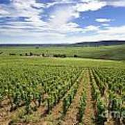 Vineyard Of Cotes De Beaune. Cote D'or. Burgundy. France. Europe Poster