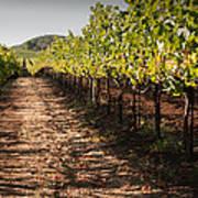 Vineyard Soil Of Sonoma Poster