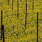 Vineyards Full Of Mustard Grass Poster