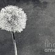 Vintage Allium Flower Poster