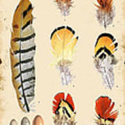 Vintage Feather Study-d Poster