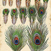 Vintage Feather Study-jp2084 Poster