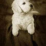 Vintage Golden Retriever Pup Poster by Angel  Tarantella