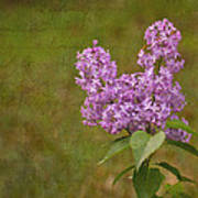 Vintage Lilac Bush Poster