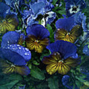 Vintage Pansy Drops Poster