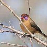 Violet Eared Waxbill Female Poster