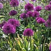 Violet Flowerbed Poster