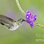 Violet-headed Hummingbird Poster