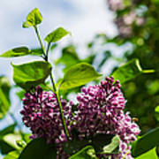 Violet Lilacs And A Bee Poster