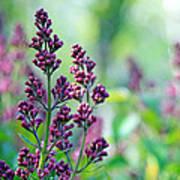 Violet Lilacs Budding Poster