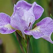 Violet Siberian Iris Poster