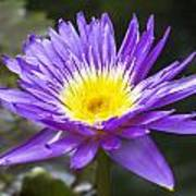 Violet Water Lily Poster
