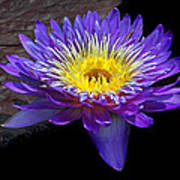 Violet Waterlily Poster