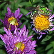 Virescent Metallic Green Bee Poster