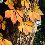Virginia Creeper Autumn Color Poster
