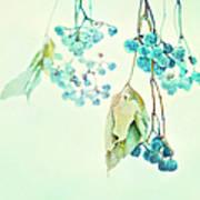 Virginia Creeper Berries Poster by Theresa Tahara