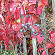 Virginia Creeper Fall Leaves And Berries Poster
