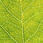 Virginia Creeper Leaf Poster