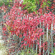 Virginia Creeper Vine On Dune Fence - Fall Colors Poster